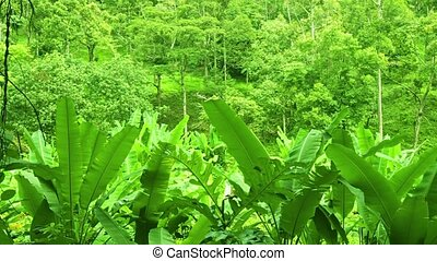 Tropical forest with thickets of bananas. Thailand, Phuket -...