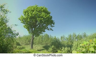 Oak tree in windy weather - 1080p video - Oak tree in windy...