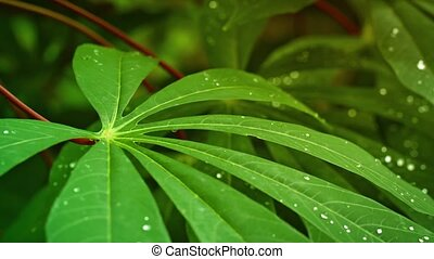 Leaves of tropical plant with drops of water. Thailand,...