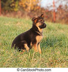 德語, 牧羊人, 華麗, 小狗, 坐