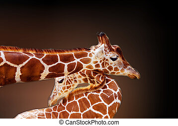 The giraffe Giraffa camelopardalis is an African even-toed...