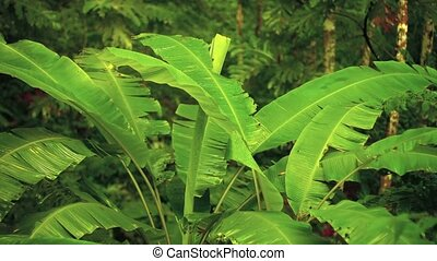 Banana Trees in the Jungle in Thailand, Asia - Video FullHD...