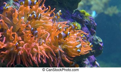 aquarium of genoa, clown fishes - a small, tropical marine...