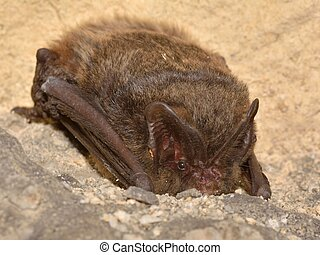 The barbastelle bat (Barbastella barbastellus), western...