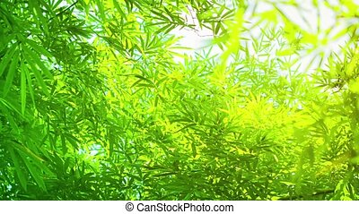Green and Yellow Bamboo Leaves in Soft Light - FullHD video...