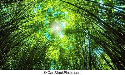 Sun through Towering Bamboo Stands - Video FullHD 1080p -...