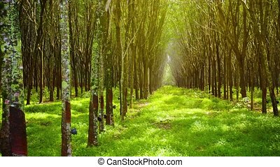 Symmetrical Rows of Rubber Trees in Perspective - Video...