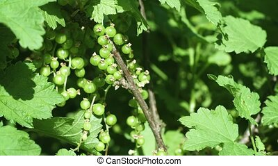 Closeup of Unripe Currant Berries on a Bush - Video 1080p -...