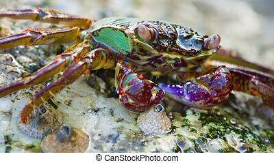 Small, Colorful Crab Submerged under a Wave - Video FullHD -...