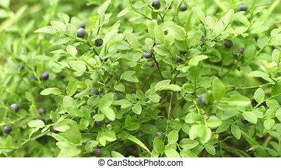 Ripe Berries on a Wild Blueberry Bush - Video 1080p - Small,...