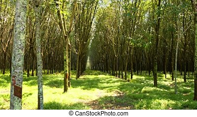 Thai Rubber Tree Plantation in Perspective - 1080p video -...
