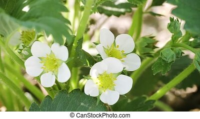 Extreme Closeup of White Strawberry Flowers with Yellow...