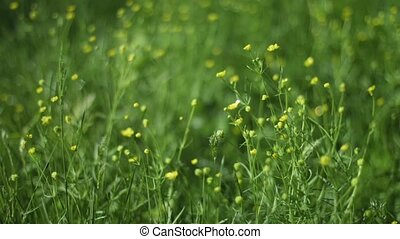 Yellow Wildflowers Swaying in a Summer Breeze - 1080p video...