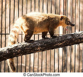 coatimundi - wild animal in the Novosibirsk zoo coatimundi