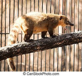 coatimundi - wild animal in the Novosibirsk zoo. coatimundi