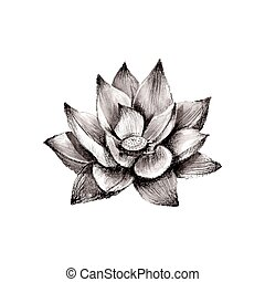 Illustration of hand drawn lotus flower isolated on white...