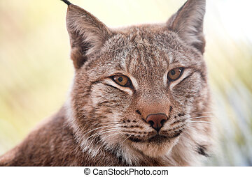 lynx - Siberian lynx kitten pays attention for a...