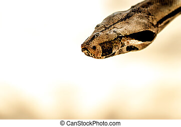 Python - Brown Snake head