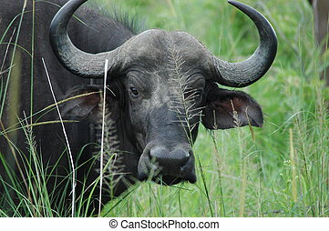 cape buffalo - Cape Buffalo, Bongani Game Reserve,South...