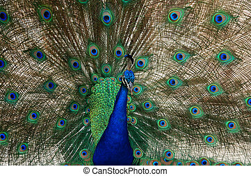 peacock bird dance to attract a peahen