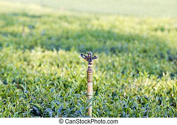 green tea plantation in thailand