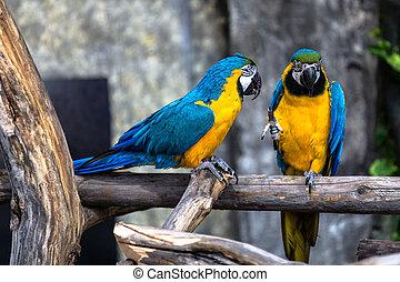 Papagáj, szeret, két, Játék
