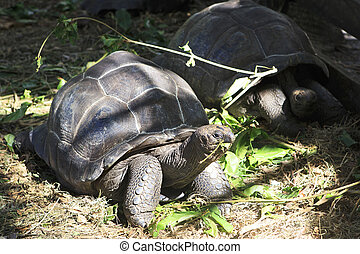 Aldabra giant tortoise eats leaves Island Praslin in...