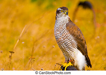 wild bird - wild hunter bird on meadow