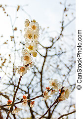 Ume flower in japan temple