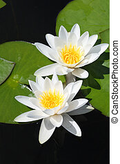 two water-lily