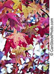 American Sweetgum - Canopy of American Sweetgum Leaves in...