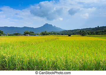 field rice of thailand