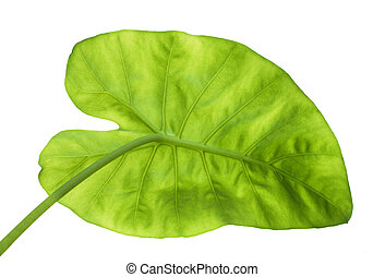 big green leaf from back