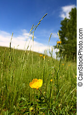 summer landscape with buttercup