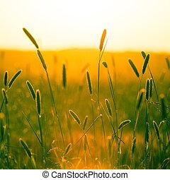 cabeças, de, dourado, grão, estiramento, saída, em, campos,...