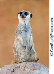 Meerkat or Suricate - Cute meerkat or suricate on the look...