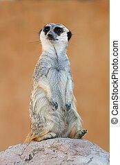 Meerkat or Suricate - Cute meerkat or suricate on the look...
