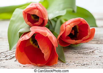red tulips on white background.
