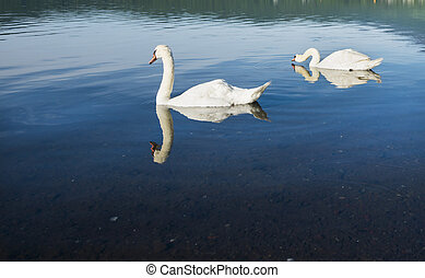 Two elegant swans simming in the lake.