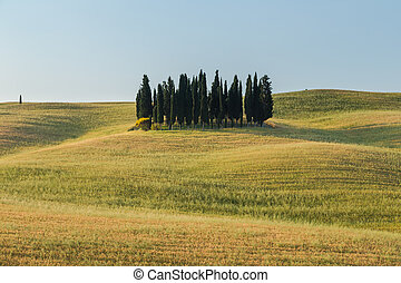 Group of cypresses, Tuscany, Italy