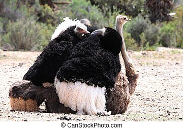 Mating Ostriches - Ostrich pair from Karoo in South Africa...