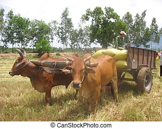 A pair of oxen yoked - It is the harvest, are loaded bags of...