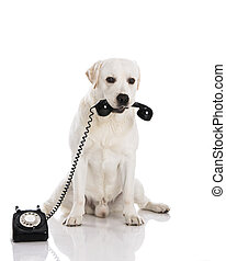 Dog and phone - Beautiful labrador dog holdiing a phone