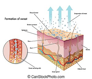 sweating - medical illustration of the formation of sweat