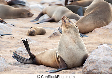 Cape Fur Seal - A Cape fur seal enjoys the heat of the sun...