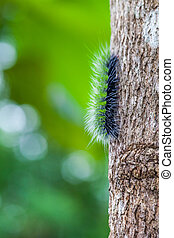 Woolly Bear Caterpillar ,Nature