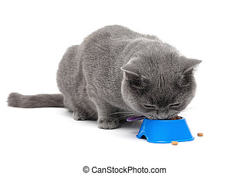 Scottish cat eating food from a bowl on a white background....