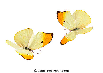 Butterflies Anteos Menippe - Close up shot of flying...