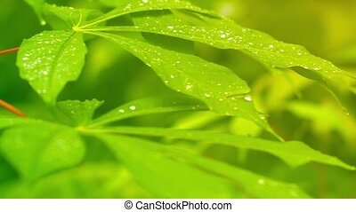 Morning Dew on Leaves - Video 1080p - Panning across the...