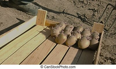 Ready for planting in the ground potato tubers - Video 1080p...